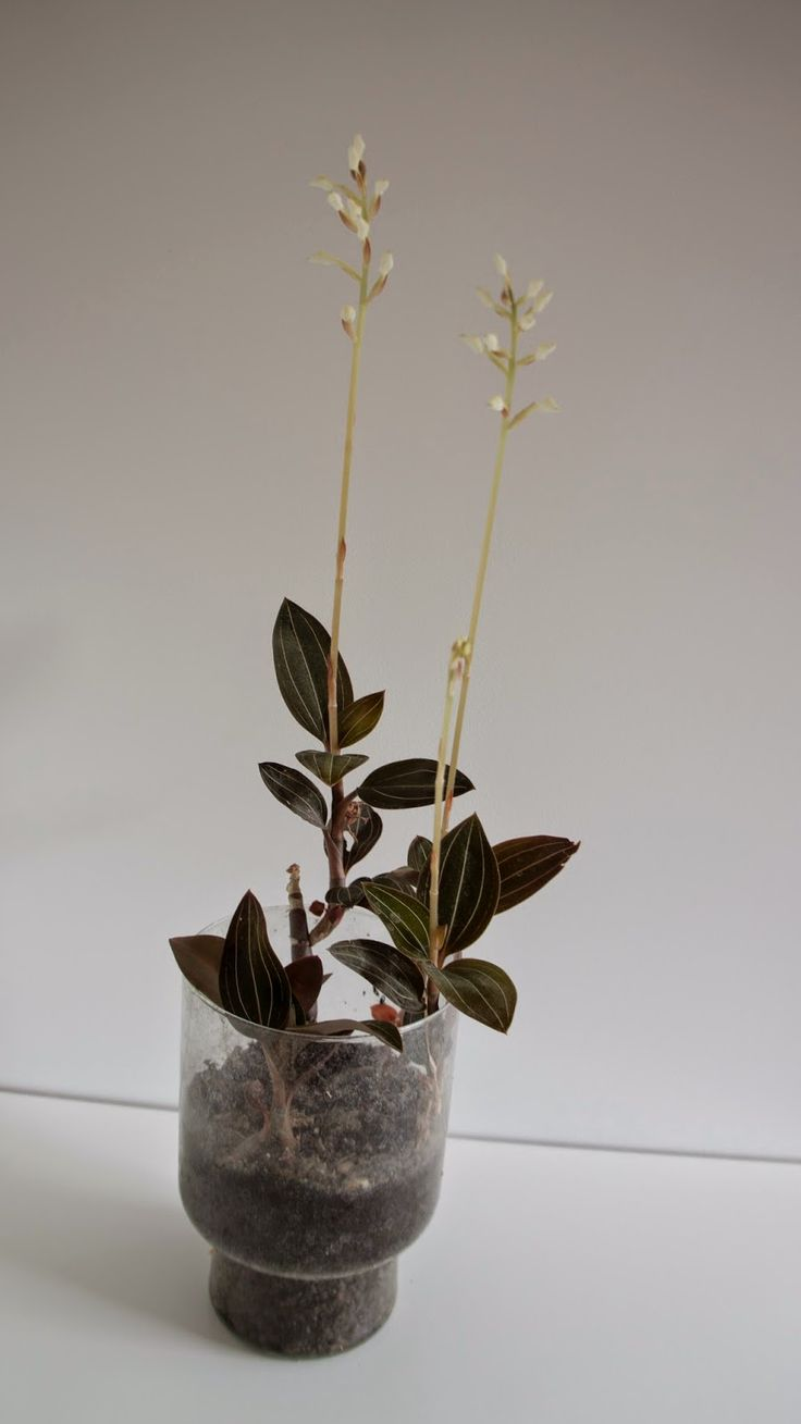 How To Care for Ludisia (Jewel Orchid)