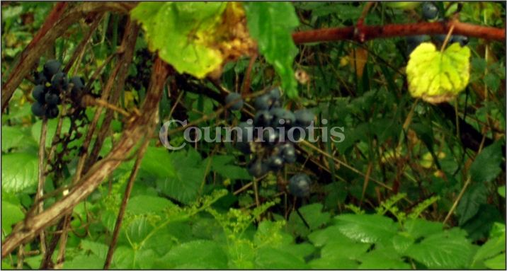 Since 1876 the Couniniotis Grp. of Companies-one of the world's oldest Currants merchant-has loved viticulture!