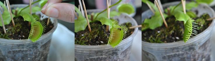 planta carnivora  venus atrapamoscas