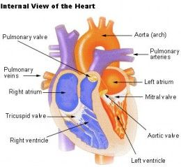 84 best aja gcse biology resources and revision ideas images on ocr biology revision part 5 the heart ccuart Choice Image