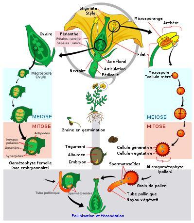 Angiosperm life cycle diagram-fr - Magnoliophyta ...