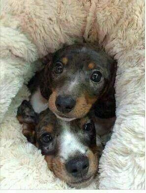 Cute dachshund puppies 💖
