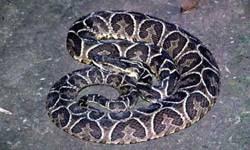 Cobra Urutu Cruzeiro ,