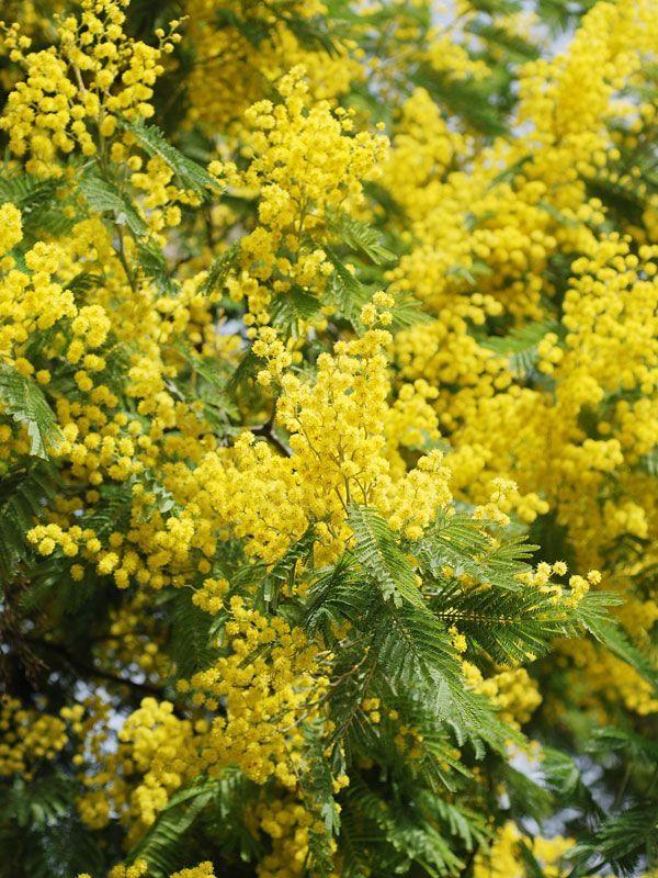 Golden Mimosa Tree Acacia Baileyana Acacia Baileyana Golden Mimosa Tree In 2020 Acacia Baileyana Mimosa Tree Acacia Tree