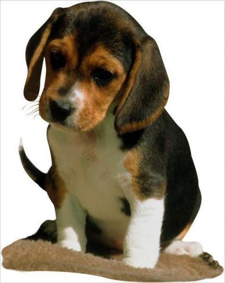 Best Snoopy Beagle Beagle Adorable Dog - dd8b0fa631b6fefc9c5c82633107d1a0--baby-beagle-google-search  Picture_211092  .jpg