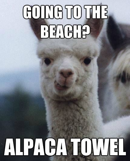 Alpaca on a beach? Sounds like a good time! Alpaca towel! #alpaca #fun #beach