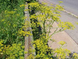 Poisonous plants like wild parsnip could spoil your summer - CBS News