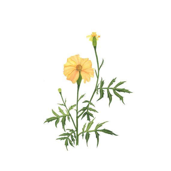 Botanical Fine Art Print Watercolor Yellow Marigolds / 4x6 5x7