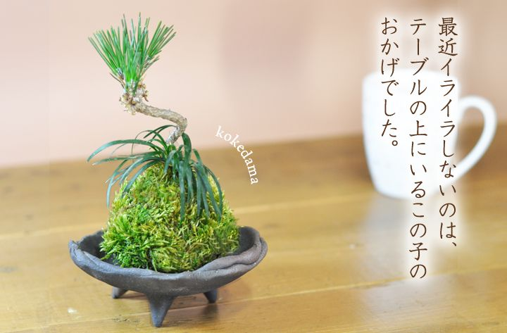 【苔玉】ミニミニ黒松と玉竜の苔玉の盆栽を販売 | はじめる専門店 盆栽妙