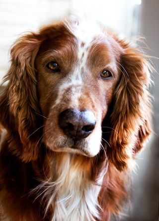 Welsh springer spaniel with Amazing eyes