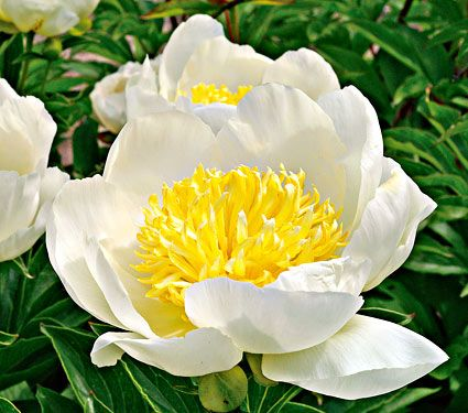 Paeonia Jan van Leeuwen - White Flower Farm