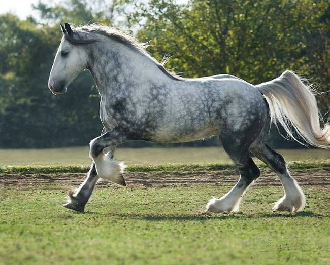 Drum Horse. The cross between a Gypsy Vanner and Shire draft. Sometimes a Clydesdale is used as the draft mare. photo: Mark Barrett.