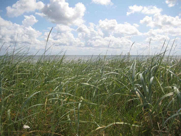 Strandhafer bei List auf Sylt  http://fc-foto.de/35248907