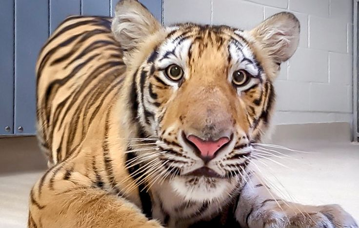 VIDEO: LSU officially has a new Mike the Tiger | WWL