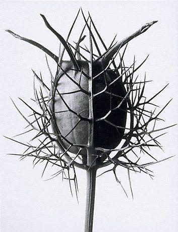 Karl Blossfeldt Nigella damascena http://www.artgallery.nsw.gov.au/collection/works/545.1996/