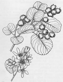 Serviceberry, Saskatoon (Amelanchier alnifolia), Pacific northwest native shrub