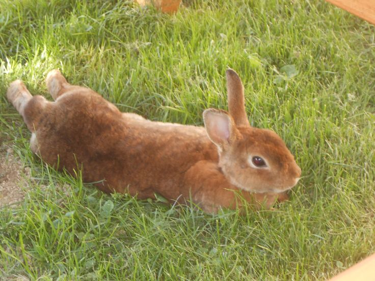 Wild Backyard Rabbits : wild rabbit in our yard we named Nutmeg He doesnt look like a wild