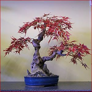 ancient bonsai maple ... awesome!!