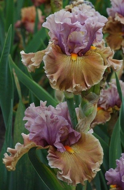 TB Iris Ancient Secrets (Blyth, 2009)                              …