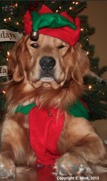 Golden Retrievers love Christmas too!