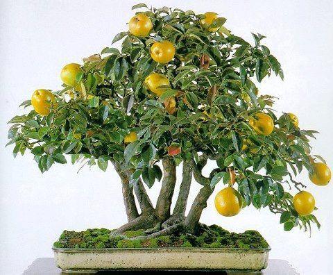 Apple Bonsai estas manzanas seguramente no caerá lejos del árbol