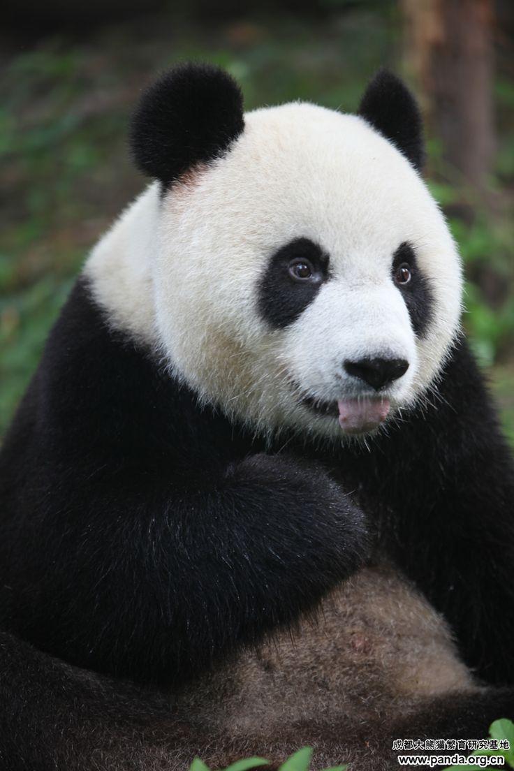 74 best panda images on pinterest panda bears pandas and giant giant pandas wall murals panda bears animals wallpaper murals wall prints murals mural art amipublicfo Image collections