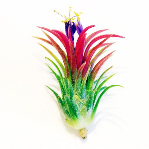 Set of 5 Fuego Air Plants    30 Day Money Back Guarantee on all of our air plants. If you are not completely satisfied with the health of your