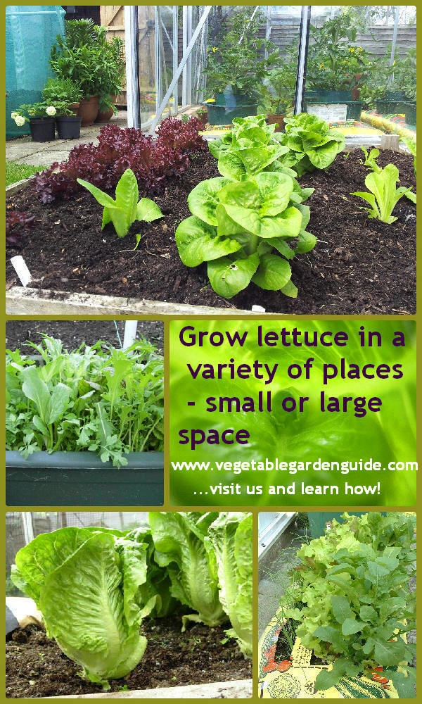 45 best images about growing lettuce on pinterest gardens grow your own and grow lettuce - Salads can grow pots eat fresh ...