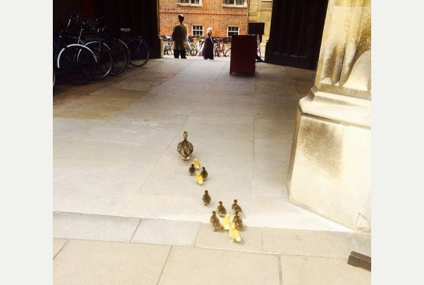 Photos capture ducklings' journey from Corpus Christi College to the River Cam.