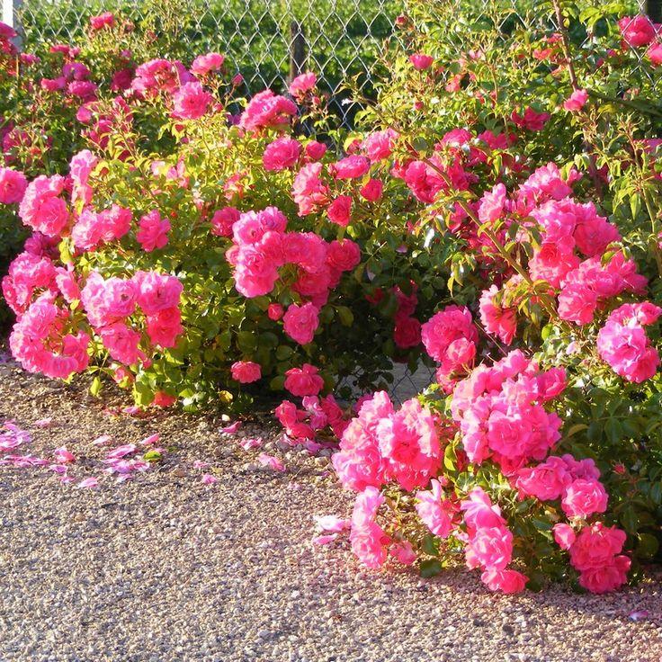 Qu'il est beau le rose des roses http://www.mesarbustes.fr/rosiers.html