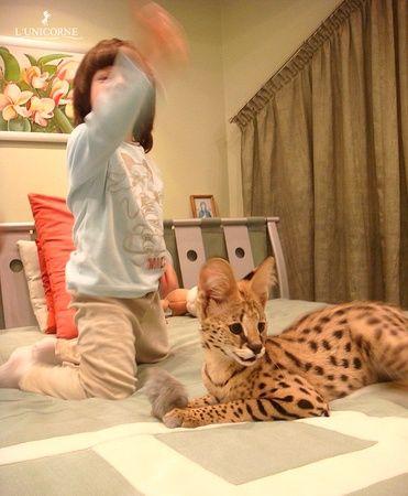 """три золотых правила в воспитании Сервалов:  1. Не играть с котенком в игру """"сражение с рукой или ногой"""" - для этого лучше использовать его игрушки, иначе по мере взросления он будет воспринимать Ваши руки и ноги также своими игрушками, царапая и прикусывая их.  2. Не кричать и не бить Сервала – к примеру, если Ваш Сервал будет залезать постоянно на обеденный стол, а Вам это будет не нравиться, то """"вооружитесь"""" водным пистолетом или пульвизатором для цветов. Четко сказав команду """"нельзя!"""" и…"""