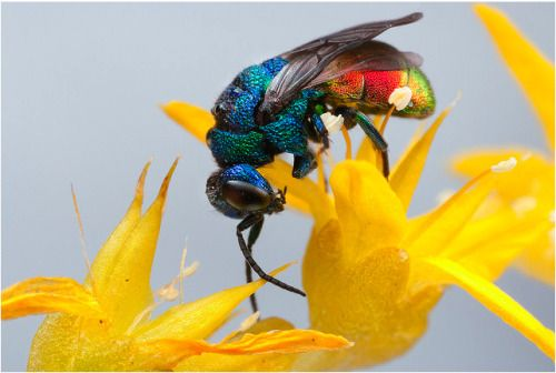 RUBY-TAILED WASP or CUCKOO WASP (Ancistrocerus antilope) ©John Hallman • Ruby-Tailed Wasps are often seen running over walls, banks and tree trunks in search of the nests of the insects (usually other wasps and bees) that they parasitize. • The...