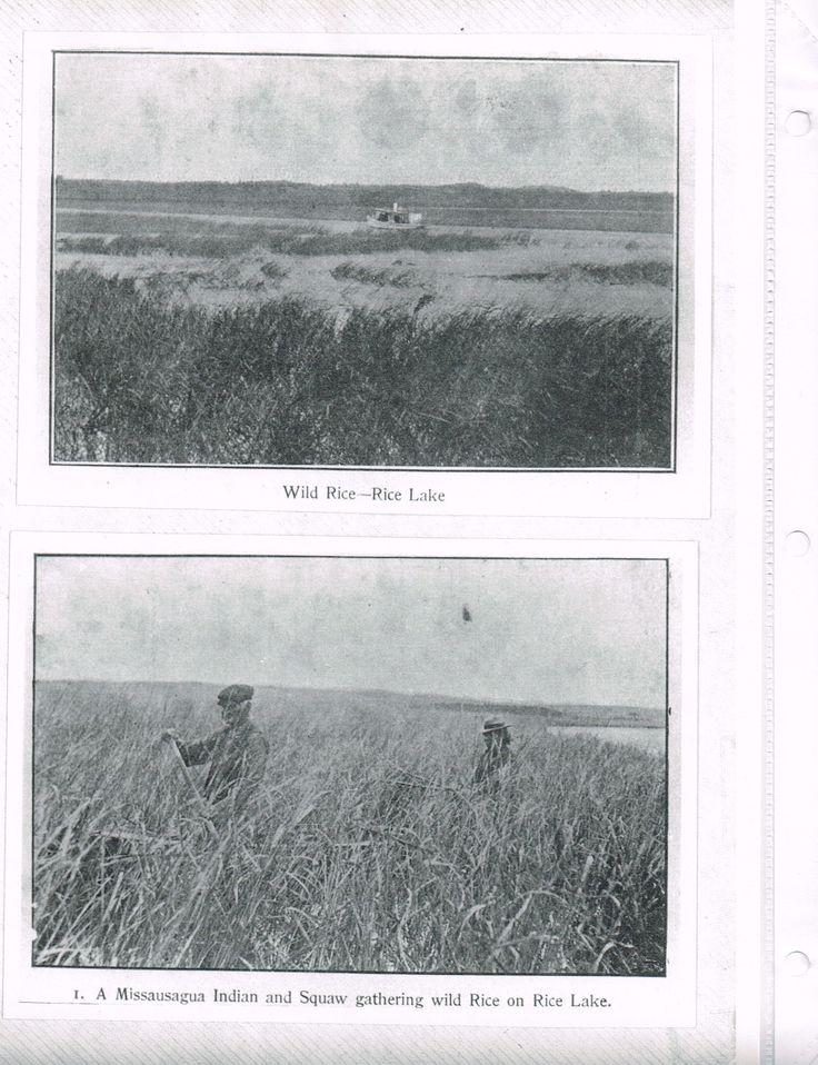 Harvesting wild rice on Rice Lake, photos undated.