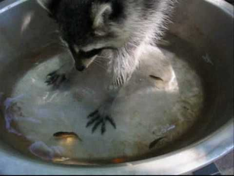 17 best images about raccoons love them on pinterest for Do raccoons eat fish