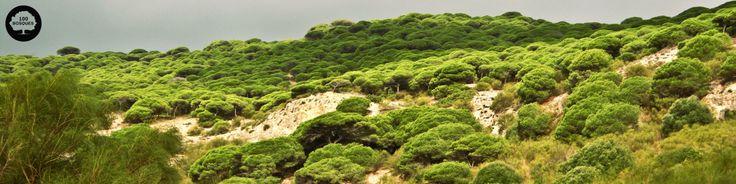 PINAR DE BARBATE Está situado en el sur de la provincia de Cádiz. Es la masa de pino piñonero más extensa de la provincia de Cádiz. Crece el pino piñonero, el enebro marítimo, el acebuche, la sabina, el madroño y el romero. Fauna: los acantilados acogen una importante cantidad de aves  y destaca la colonia de gaviota argéntea y de garcilla bueyera,