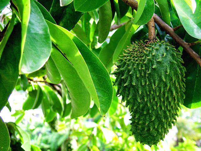 Daun dan buah sirsak (Annona Muricata L)
