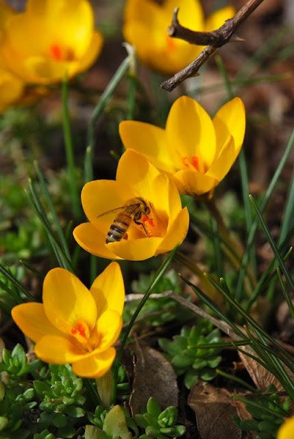Crocus 'Goldilocks'Beautifull Nature, Bees Happy, Buzz, Celebrities Spring, Bloom, Call Goldilocks, Yellow Crocus, Goldilocks Crocus, Crocus Goldilocks Hav