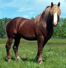 The Suffolk Punch is a heavy drafthorse that comes in sixs or seven (?) shades of red, and this horse has one of the darkest red shades.