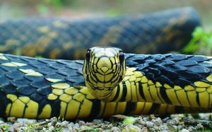 Cobras não venenosas - Caninana: Com o nome científico de Spilotes pullatus