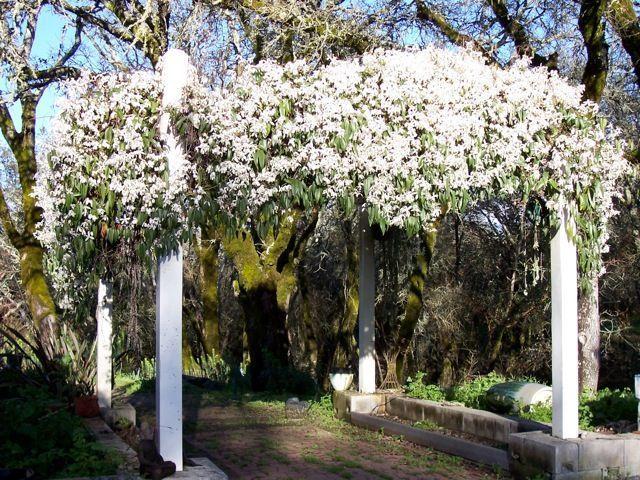 Clematis armandii. #gardenvinesarbors