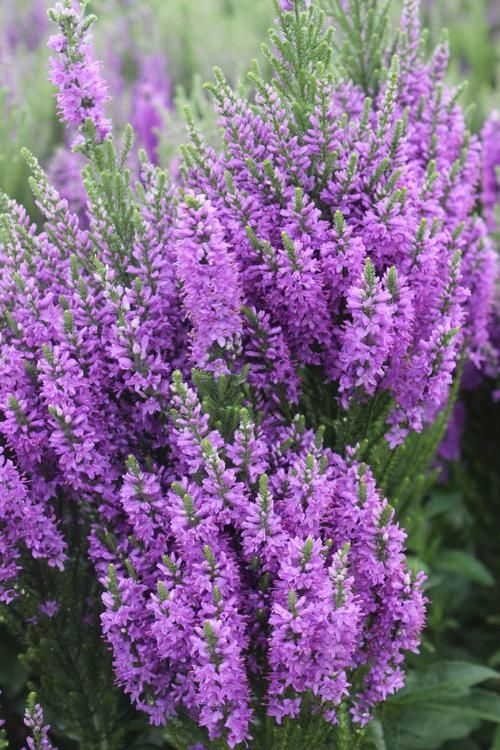 Veronica Speedwell Perennial   Speedwell Veronica x Purple Explosion from Growing Colors