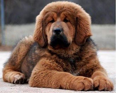 Tibetan Mastiff Pup. BIG KISSES - I have always loved big fluffy dogs - but not where I live! Too bad!