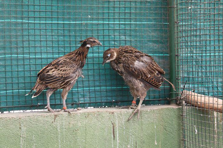Ejemplares de faisanes coclas y monal en las instalaciones del Parque Zoológico Ornitológico de Avifauna