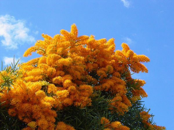 WA's famous flowering Christmas tree