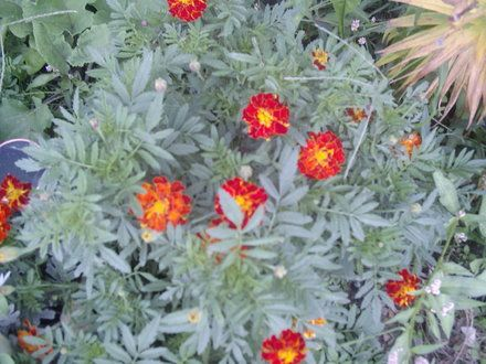 How to Grow Marigolds Indoors | Garden Guides - to put in skull-painted planting pots