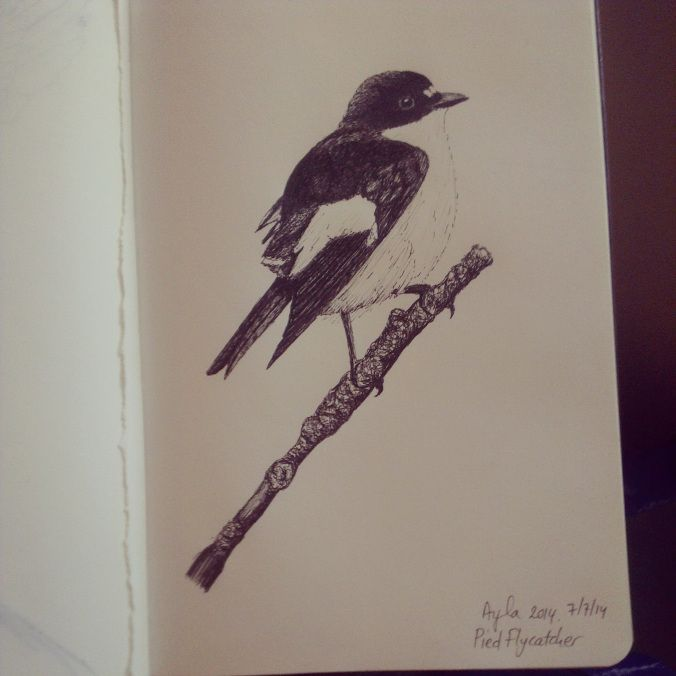 Day 21: Pied wagtail (Bonte vliegenvanger). #100daysofdoodling by Ayla Paul
