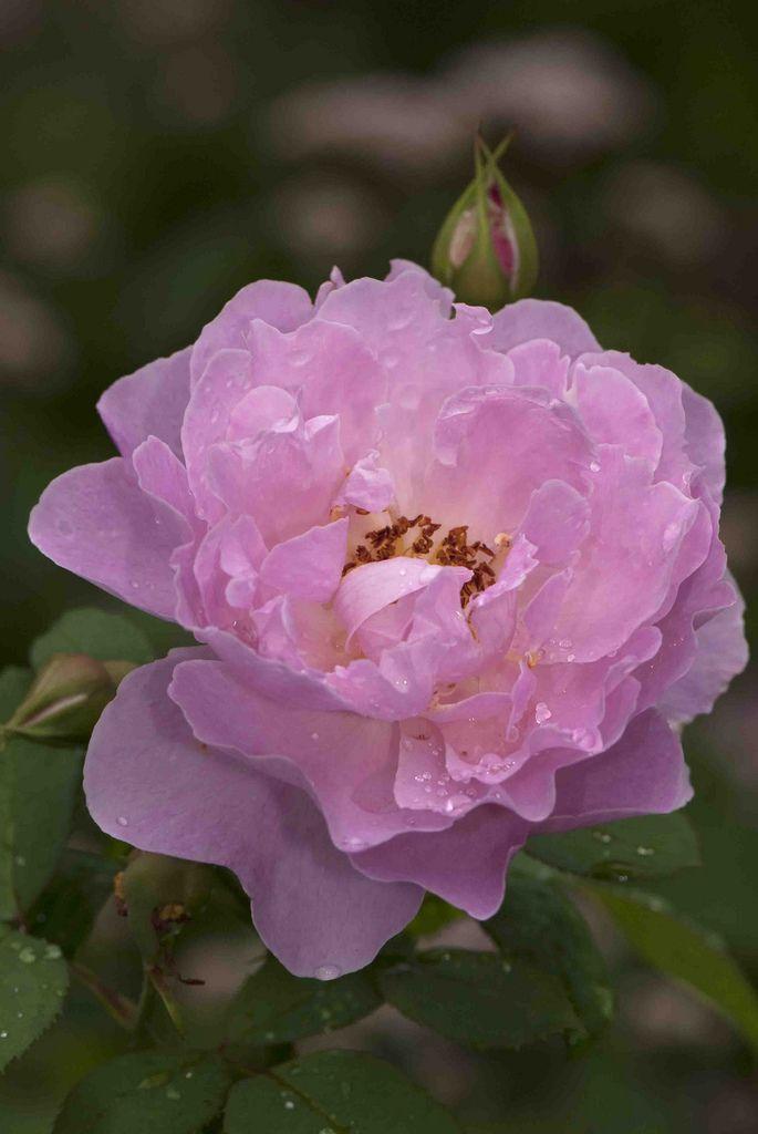 'Mary Rose' | Shrub. English Rose Collection. Bred by David C. H. Austin (United Kingdom, 1983) | Flickr - © NYBG, Photo by Ivo M. Vermeulen