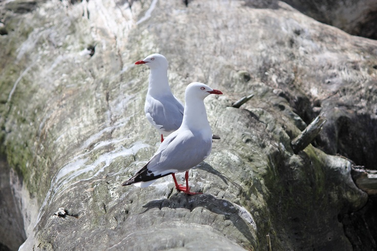Gulls at Te Mata
