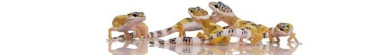 Red Eared Slider Care Sheet | Gecko Care