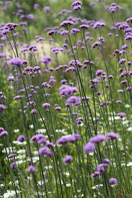 "Swaying in the wind--Verbena bonariensis. I love this flower, but be CAREFUL.  It will reseed itself vigorously.  I almost consider it a ""garden thug"". Great in flower arrangements, the tall purple flower is a wonderful accent."